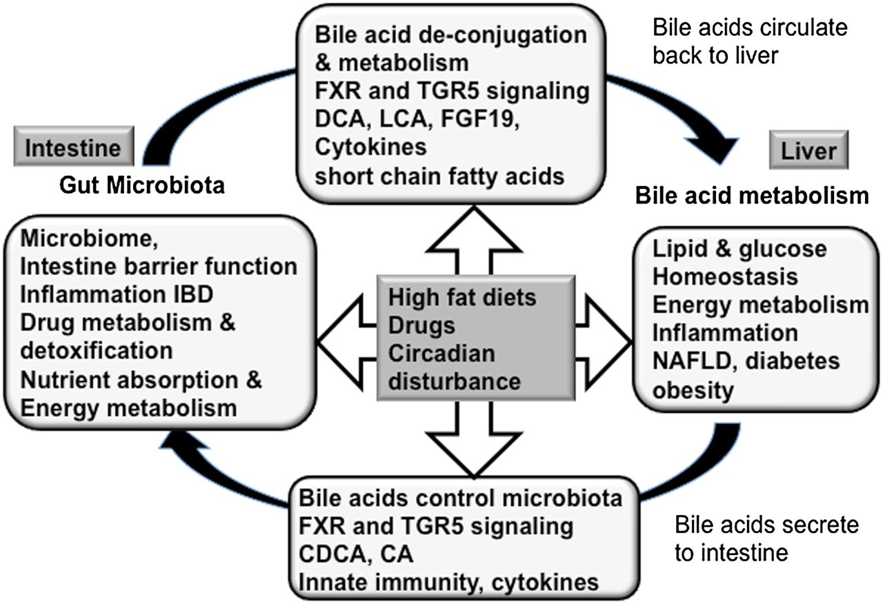 concentrations of bile salts on lipase Interactions of pancreatic lipase with bile salts and dodecyl sulfate ben@ borgstrom and jakob donner department of physiological chemistry, university of i,und, lund, sweden.
