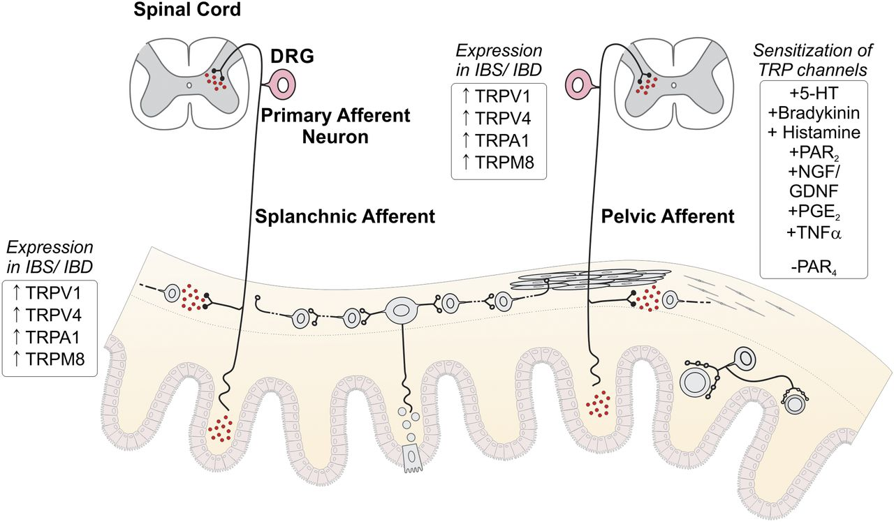 The g proteincoupled receptortransient receptor potential channel download figure ccuart Images