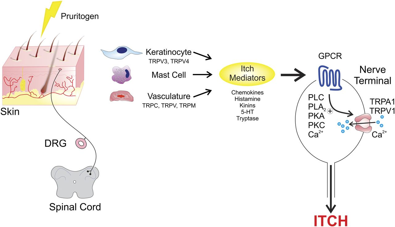 The G Protein–Coupled Receptor–Transient Receptor Potential