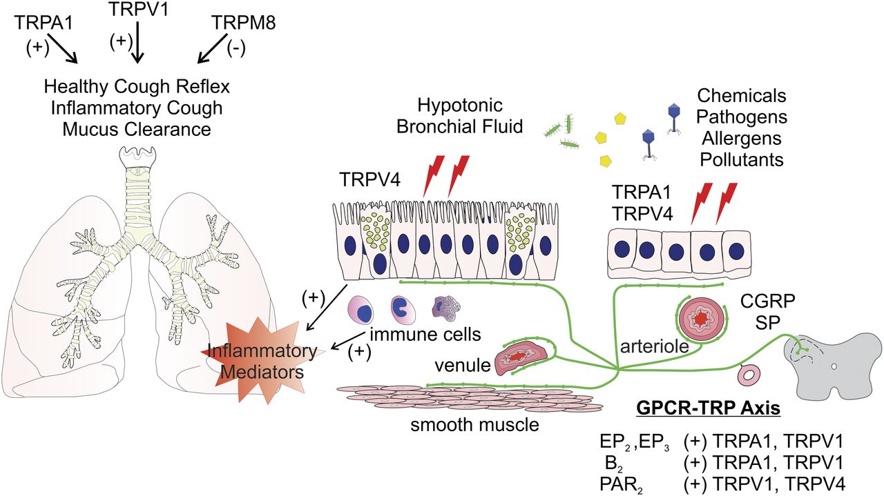 The G Protein Coupled Receptor Transient Receptor
