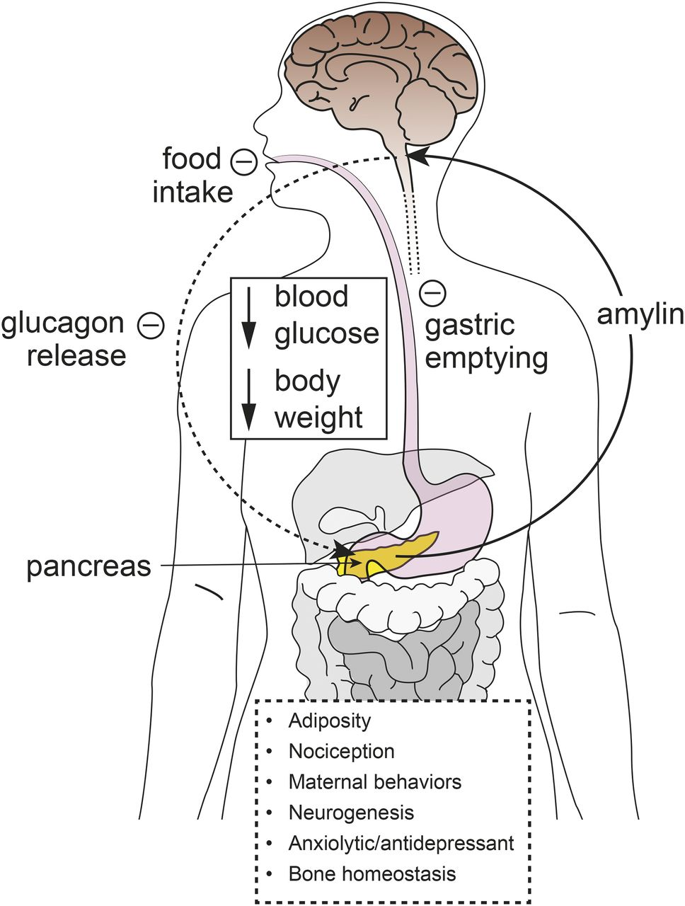 an in depth review of the functions of the pancreas In-depth review 1  andrographis paniculata,  andrographolides are thought to enhance immune system functions such as production of white blood cells.