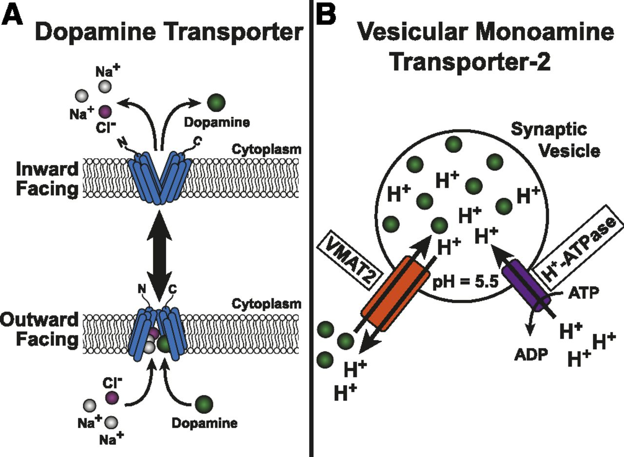 Regulation of the Dopamine and Vesicular Monoamine Transporters