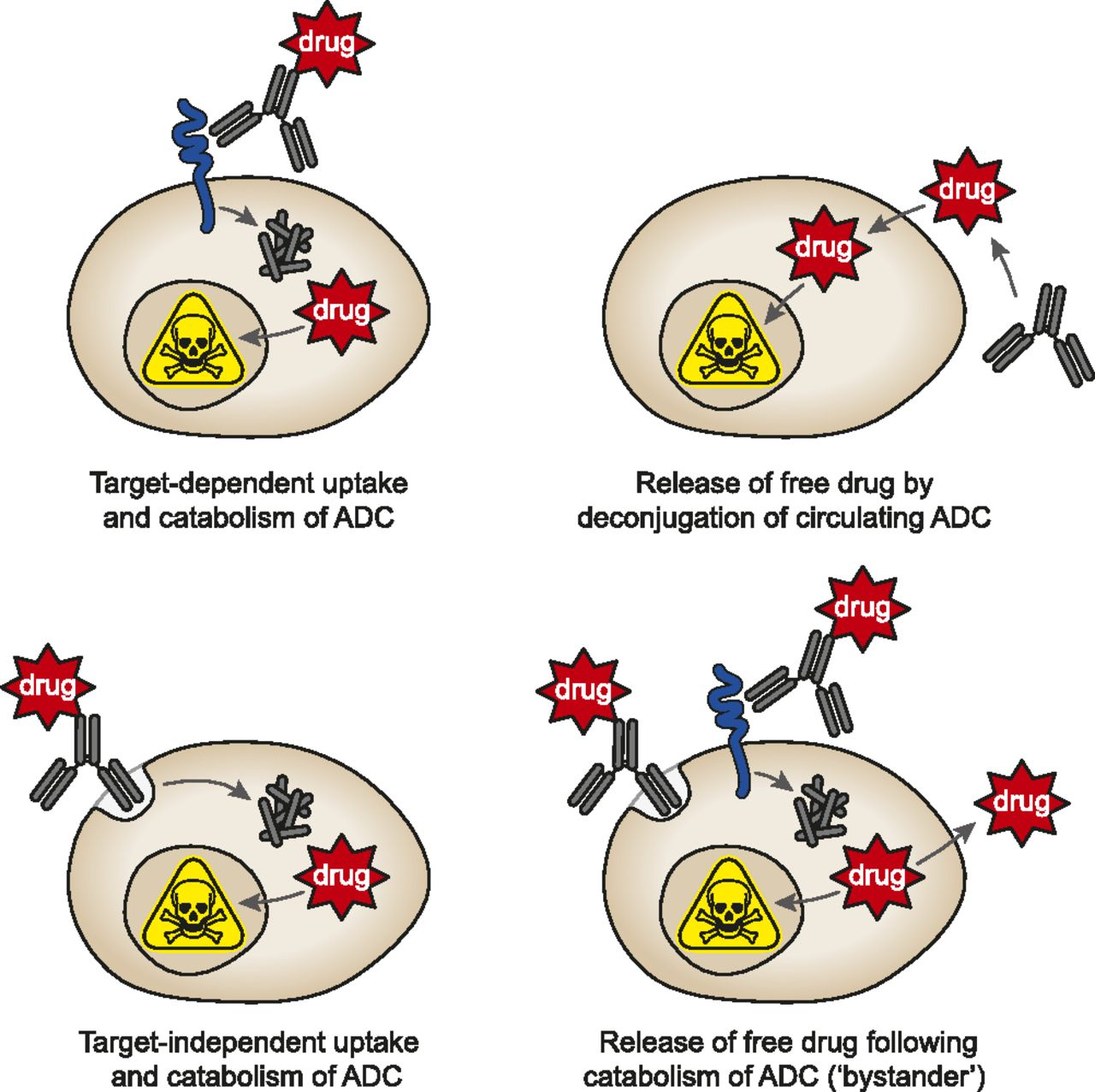 The ABCs of ADCs: A Review of Antibody Drug Conjugates