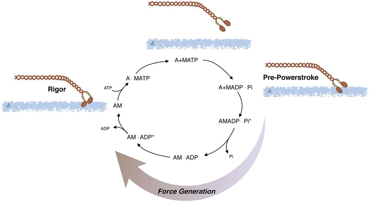 Mechanisms Of Vascular Smooth Muscle Contraction And The Basis For