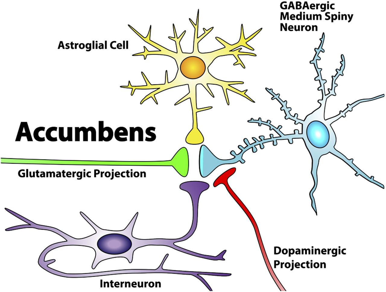 The Nucleus Accumbens: Mechanisms of Addiction across Drug Classes ...