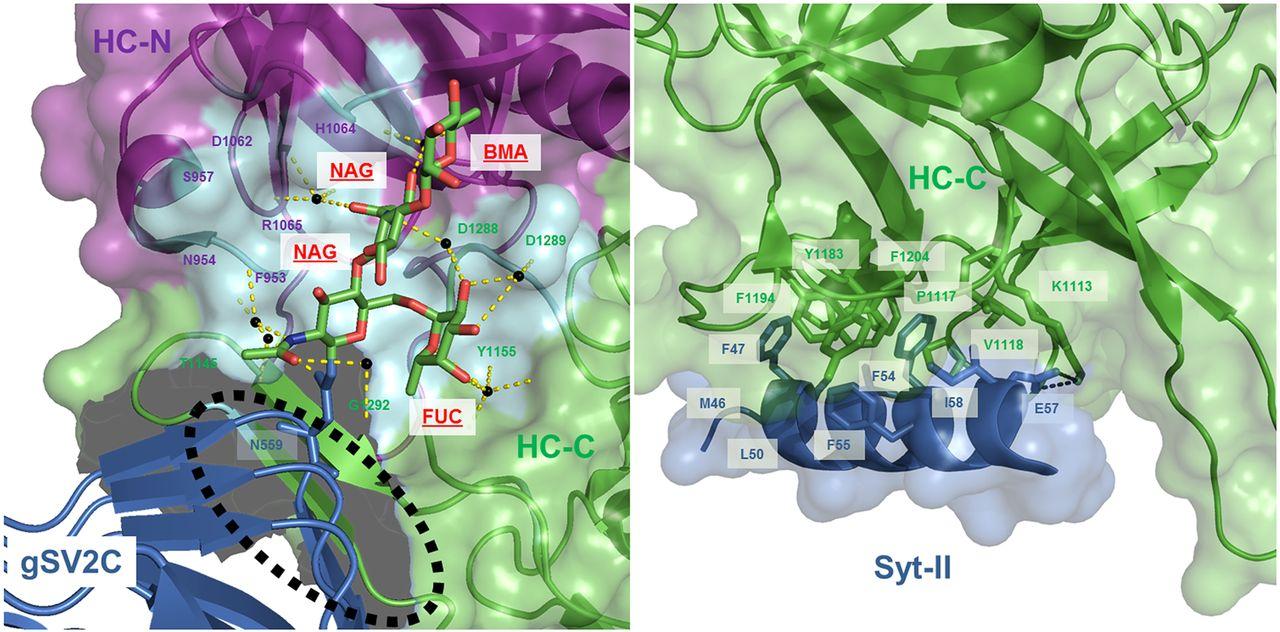 Botulinum Neurotoxins: Biology, Pharmacology, and Toxicology