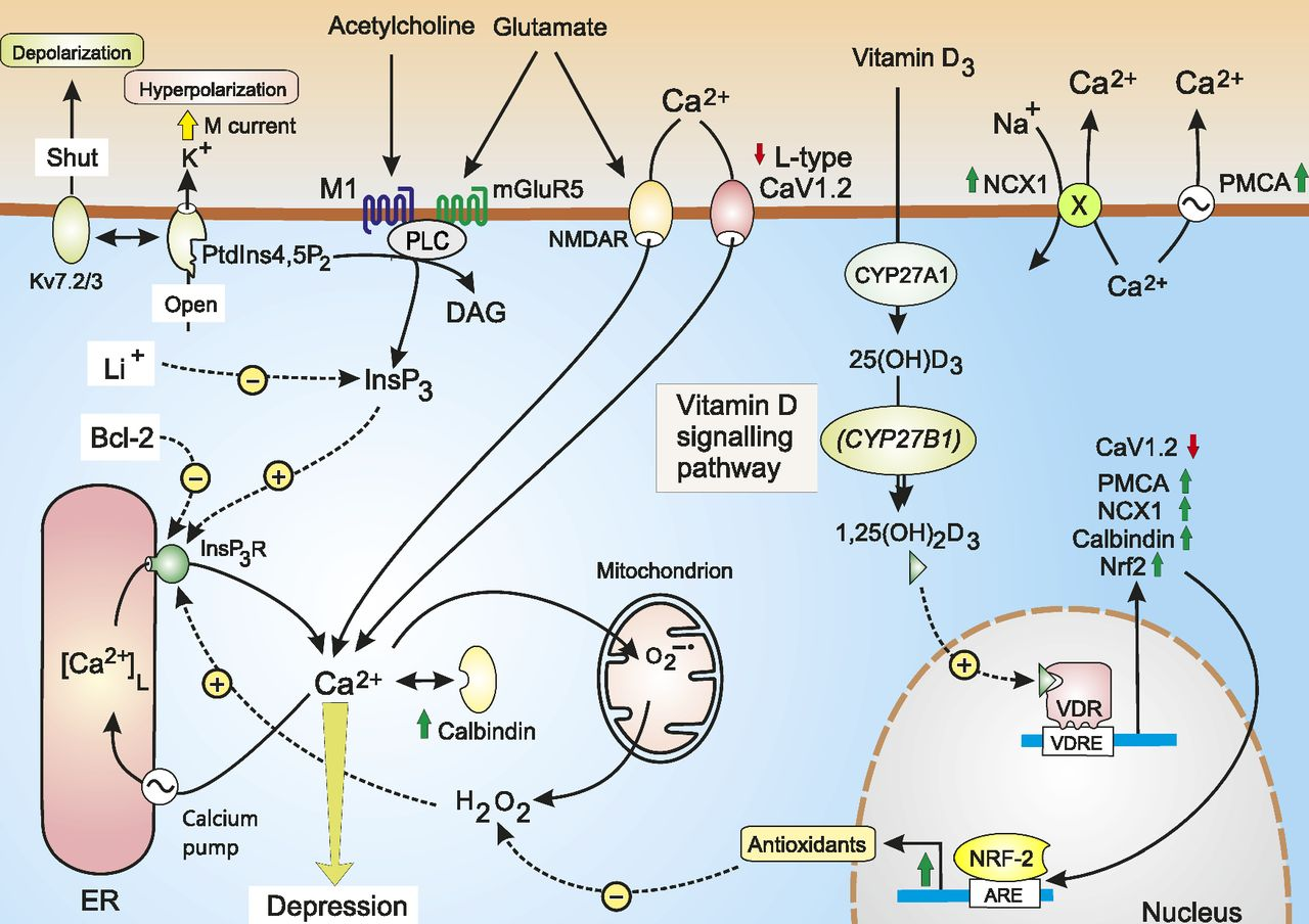 Vitamin D and Depression: Cellular and Regulatory Mechanisms |  Pharmacological Reviews