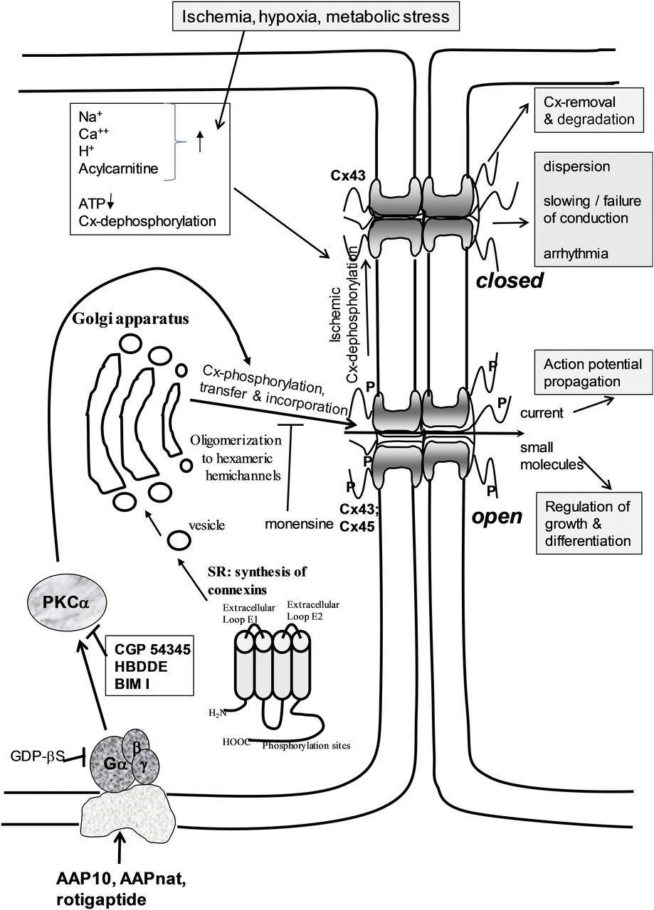 Connexins In Cardiovascular And Neurovascular Health Disease Wiring Diagram Furthermore Mini Cooper Blueprint On S Download Figure Open New Tab