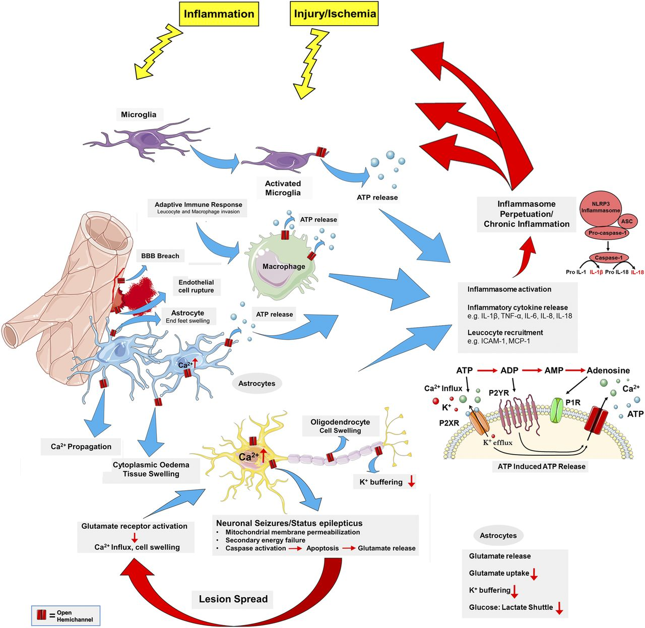 e93033452527b5 Connexins in Cardiovascular and Neurovascular Health and Disease ...