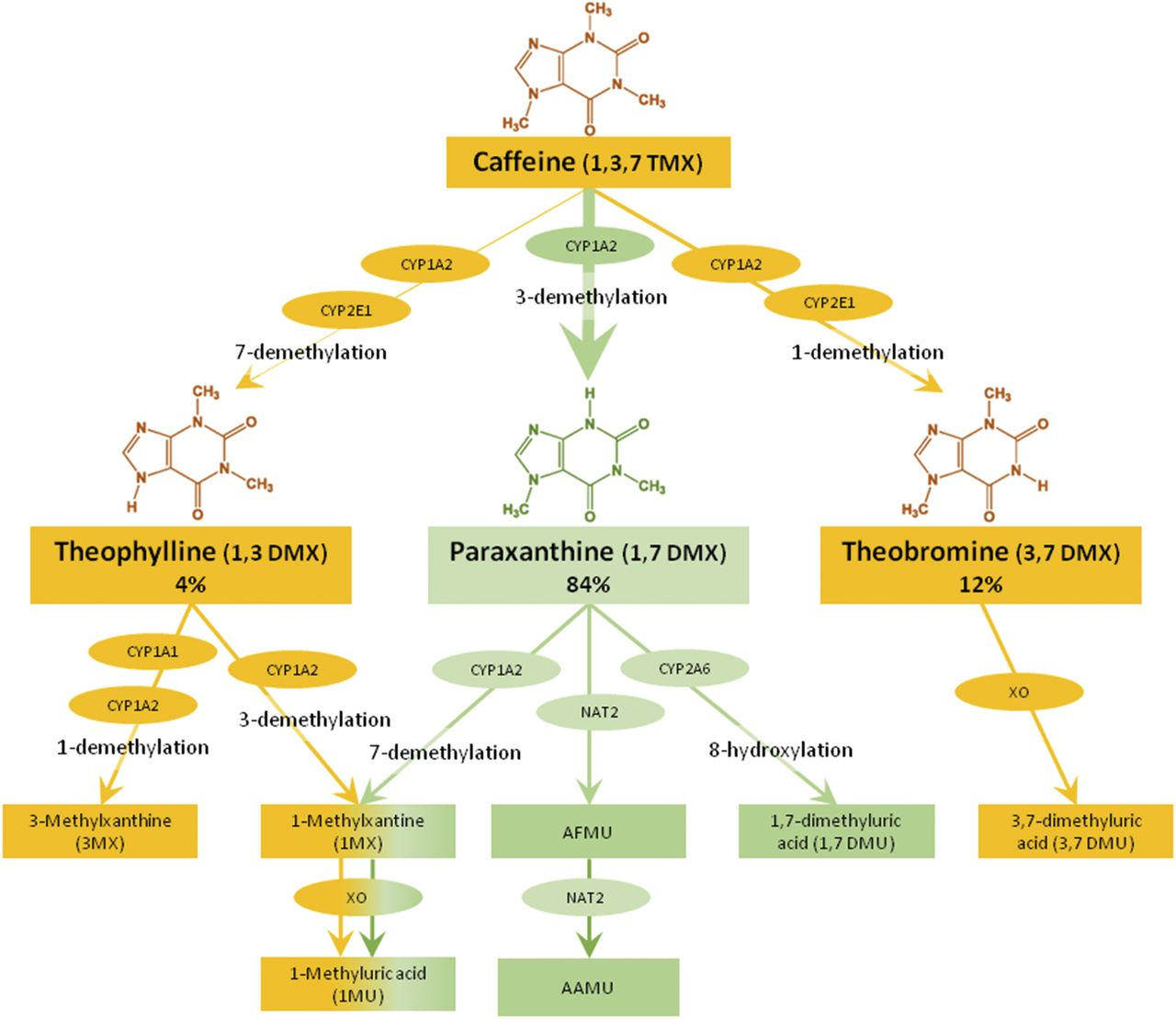 Interindividual Differences in Caffeine Metabolism and