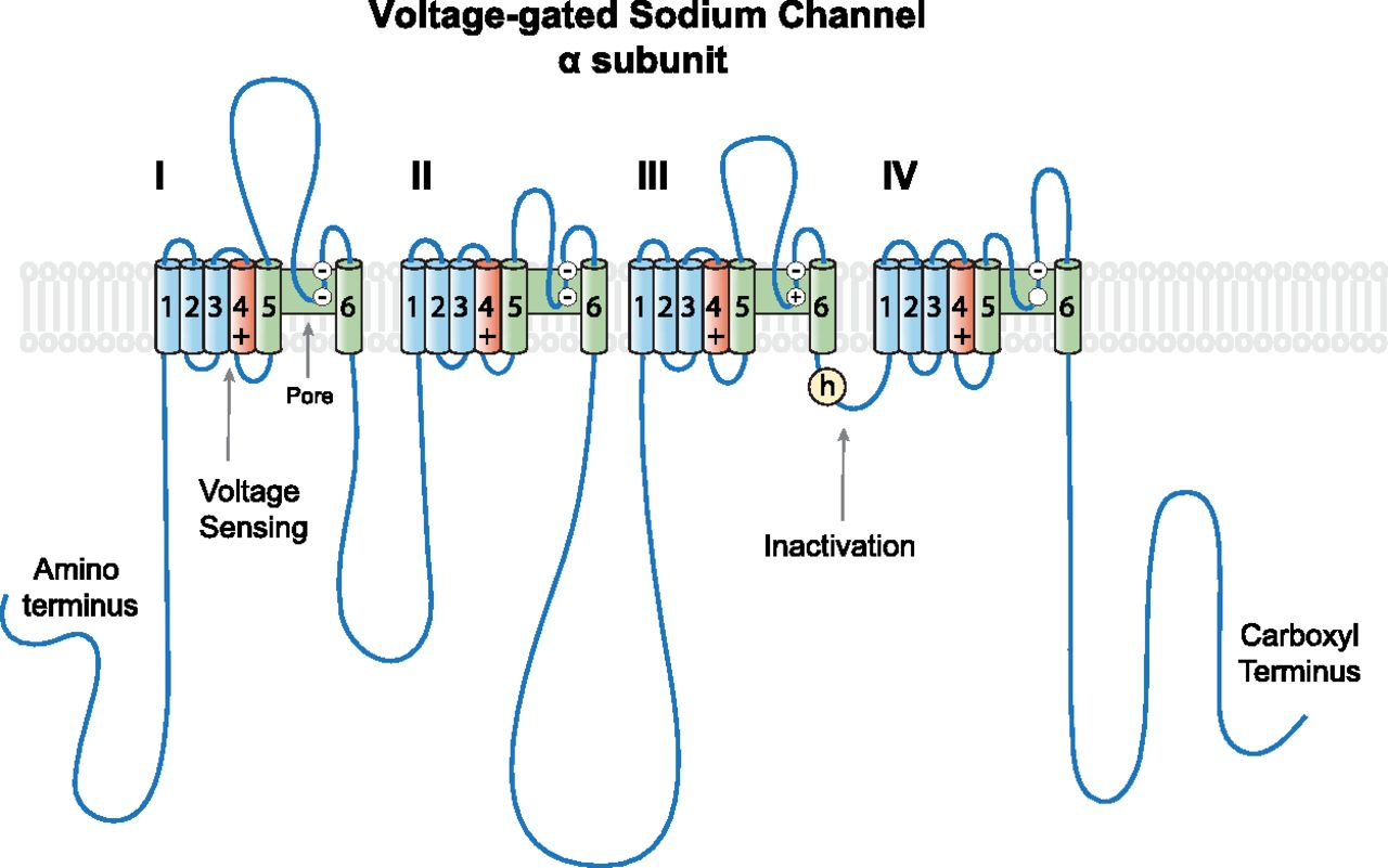 Role Of Voltage Gated Sodium Channels In The Mechanism Of Ether Induced Unconsciousness Pharmacological Reviews